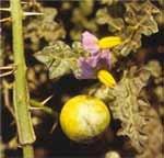 Kantakari (Leptadenia reticulata