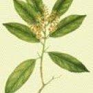 Lodhra (Sympiocos racemosa)