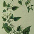 Manjistha (Rubia cordifolia)