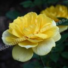 Yellow Rose In Bloom Digital Flower Photo 5x7
