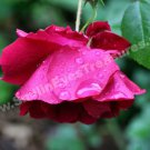 Red Rose And Raindrops Digital Flower Photo 5x7