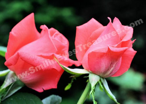 Peach Rosebud Pair Digital Flower Photo 5x7