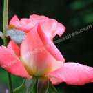 Delicate Macro Peach Rosebud Digital Flower Photo 5x7