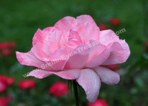 Macro Pink Rose In Bloom Digital Flower Photo 5x7