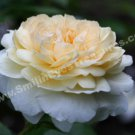 Macro Pale Yellow Rose In Bloom Digital Flower Photo 5x7