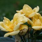 Yellow Roses Trio Digital Flower Photo 5x7