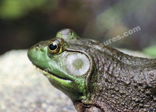 Macro Bullfrog Thoughts Digital Nature Photo 5x7