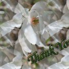 Macro White Magnolia Blossoms Flower Digital File Thank You