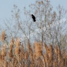 Solitary Red Winged Blackbird Digital Nature Photo 5x7