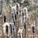 Faded Cattails In Spring Digital Nature Photo 5x7