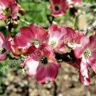 Pink Dogwood Blossoms Digital Flower Photo 5x7