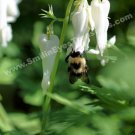 Bumble Bee On White Columbine Digital Nature Photo 5x7