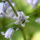 Tiny Bee On Bluebell Digital Flower Photo 5x7