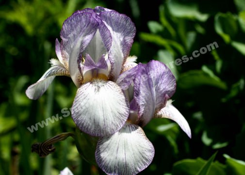 Bearded Iris Pair Digital Flower Photo 5x7