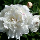 White Peony Phases Digital Flower Photo 5x7