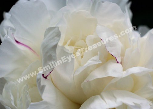 Macro White Peony Petals Digital Flower Photo 5x7