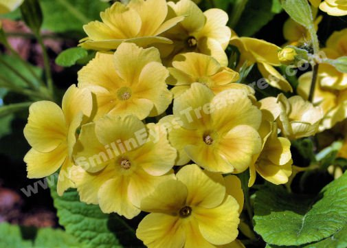 Yellow Primrose Digital Flower Photo 5x7