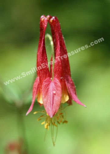 Wild Red Columbine Digital Flower Photo 5x7