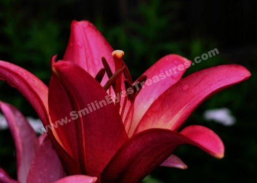 Intense Macro Red Day Lily Digital Flower Photo 5x7