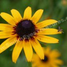 Black Eyed Susan And Friend Digital Flower Photo 5x7