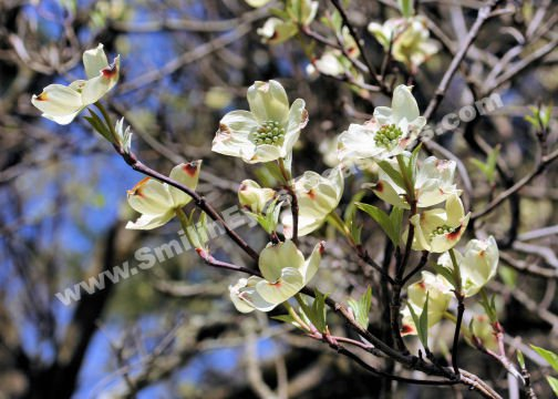 White Dogwood Blossoms Digital Flower Photo 5x7