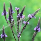 Sweet Purple Vervain Digital Flower Photo 5x7