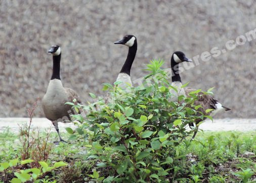 Canada Goose Trio Digital Wildlife Photo 5x7