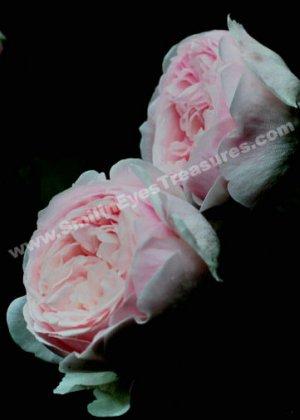 Macro Pink Rose Pair Digital Flower Photo 5x7