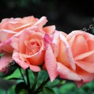 Peach Rosebud Trio Digital Flower Photo 5x7
