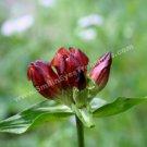 Macro Red Gentian Digital File Flower Photo 5x7