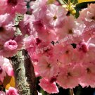 Delicate Pink Spring Blossoms Digital Flower Photo 5x7