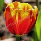 Yellow And Red Macro Tulip Digital File Flower Photo 5x7