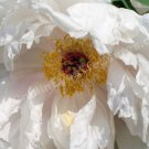 Macro White Peony Petals Flower Digital File Photo 5x7