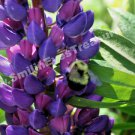 Bumble Bee On Lupine Digital File Nature Photo 5x7