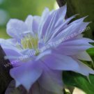 Pale Purple Nestled Clematis Flower Digital File Photo 5x7