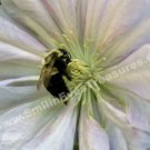 Bumble Bee On White Clematis Digital File Nature Photo 5x7
