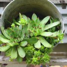 Hens And Chicks Succulents In Bucket Digital Nature Photo 5x7