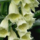 Macro Foxgloves Digital File Flower Photo 5x7