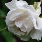 White Rose And Raindrops Digital File Flower Photo 5x7