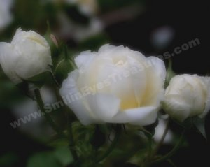White Rosebud Trio Digital File Flower Photo 5x7