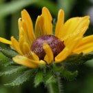 Black Eyed Susan Digital File Flower Photo 5x7
