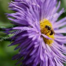 Bee On Purple Daisy Digital File Flower Photo 5x7