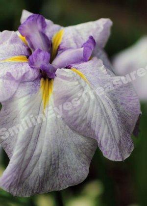 Pale Purple Japanese Iris No. 2 Digital File Flower Photo 5x7