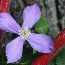 Single Purple Clematis Digital File Flower Photo 5x7