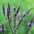 Sweet Purple Wild Vervain Digital File Flower Photo 5x7