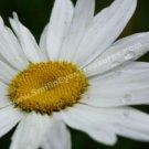 Dazzling White Daisy Digital File Flower Photo 5x7