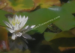 Frog Admiring White Water Lily Digital Nature Photo 5x7