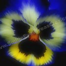 Macro Blue Pansy Digital File Flower Photo 5x7