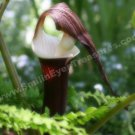 Jack In The Pulpit Soft Digital Printable Flower Photo 5x7