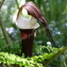 Jack In The Pulpit Digital Printable Flower Photo 5x7